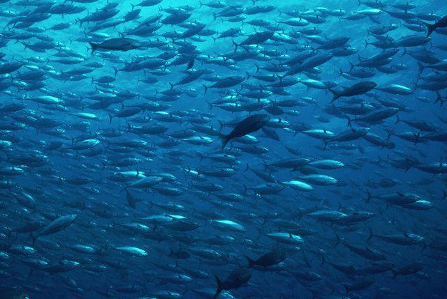 School of Tuna in Blue Water