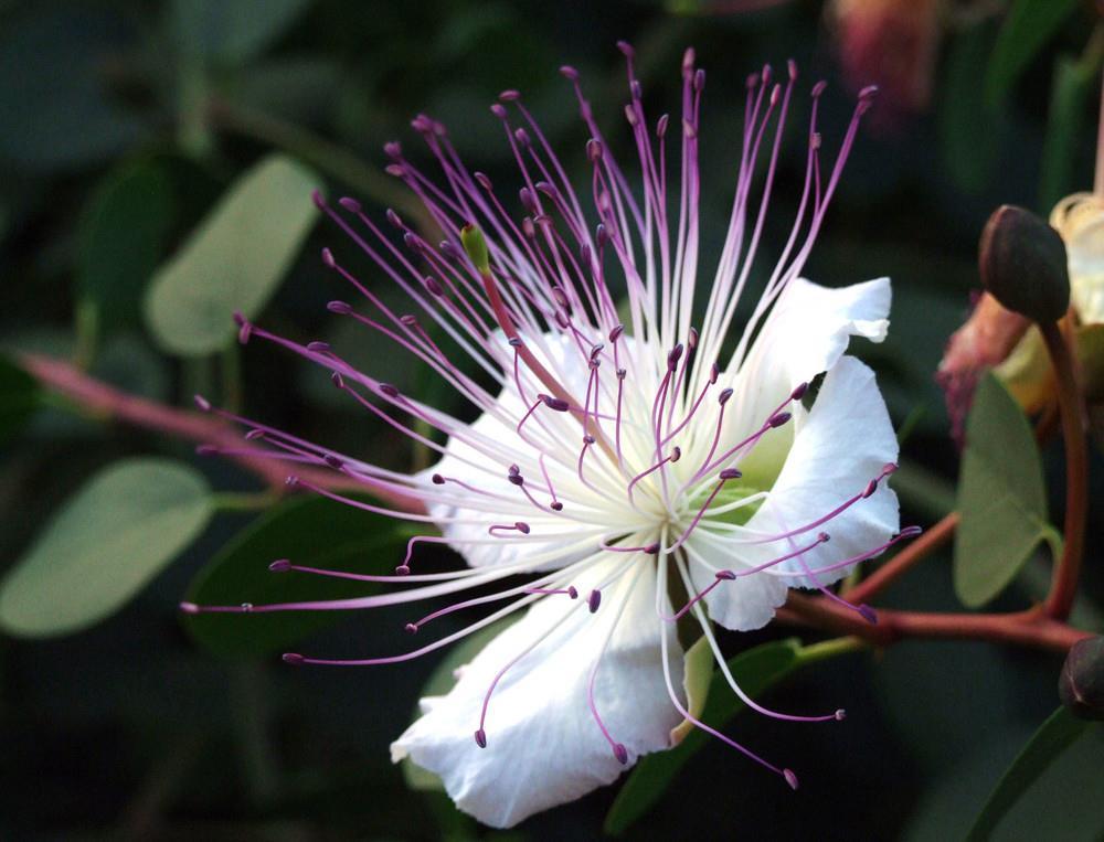 fiore-cappero