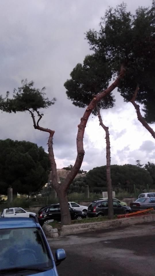 pino cortese