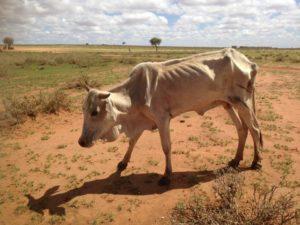 kenia vacca 1
