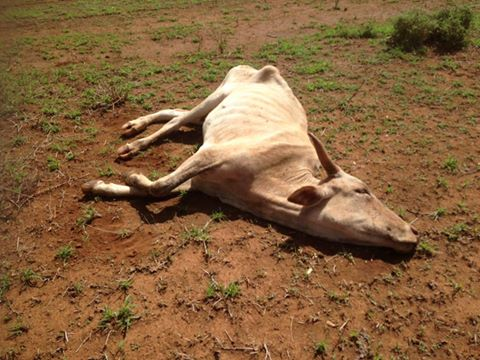 kewnia vacca