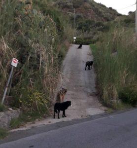 cani pignataro