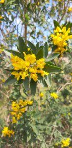 cytisus aeolicus