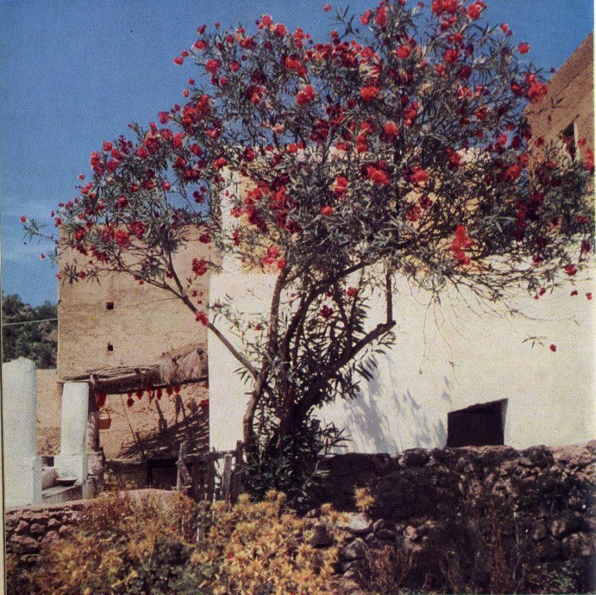 4 panarea l'oleandro in fiore