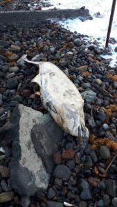 Vulcano : dalle mareggiate, oltre ai danni, la carcassa di un piccolo delfino